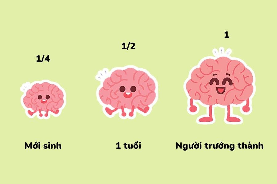 Kích thước não bộ phát triển